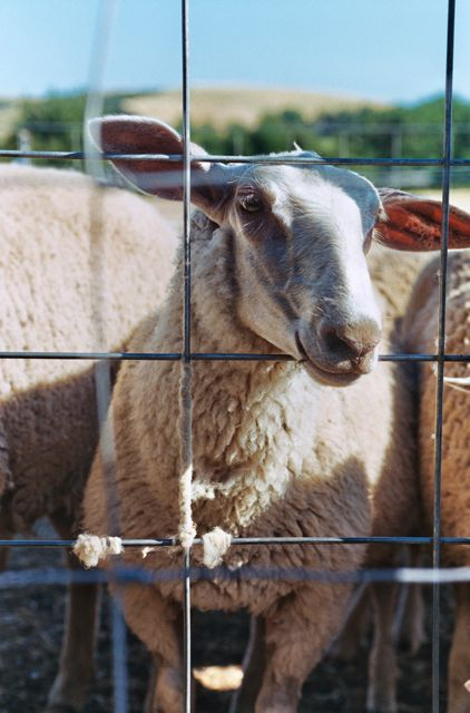 Monteillet Sheep